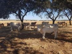 La sombra es oro para estas vacas - clima extrema en la dehesa