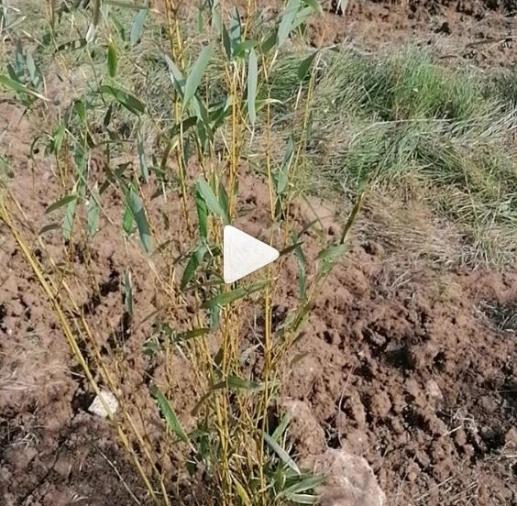 Vídeo de nuestra plantación de bambú en Freixo do Meio